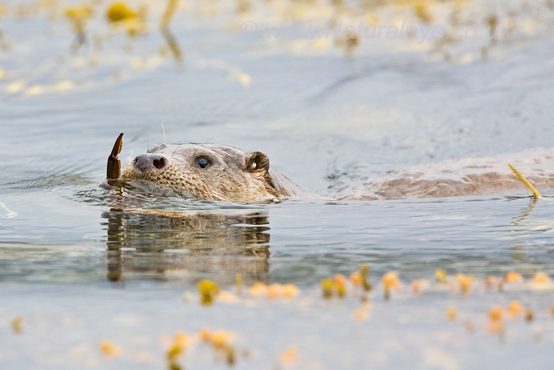 Otter swimming with Crab