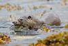 Otter bringing Crab ashore