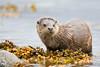 Otter on seaweed