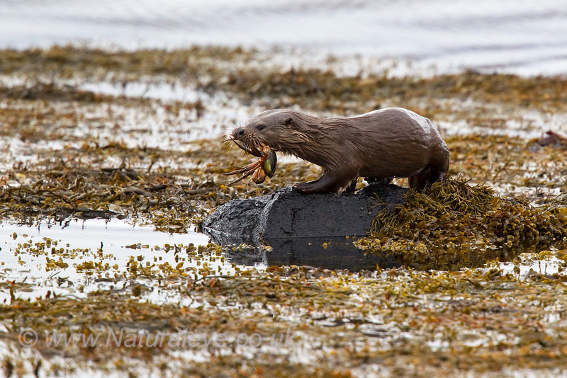 European Otter with Crab