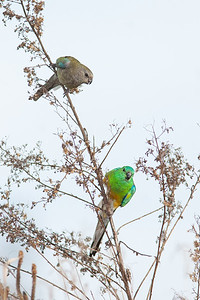 Red-rumped Parrot, female, male