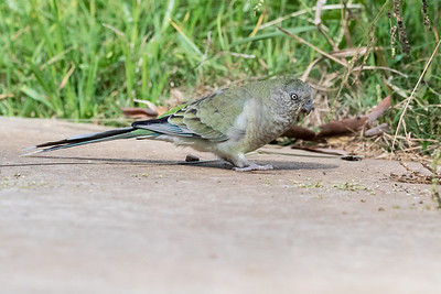 Red-rumped Parrot (female)
