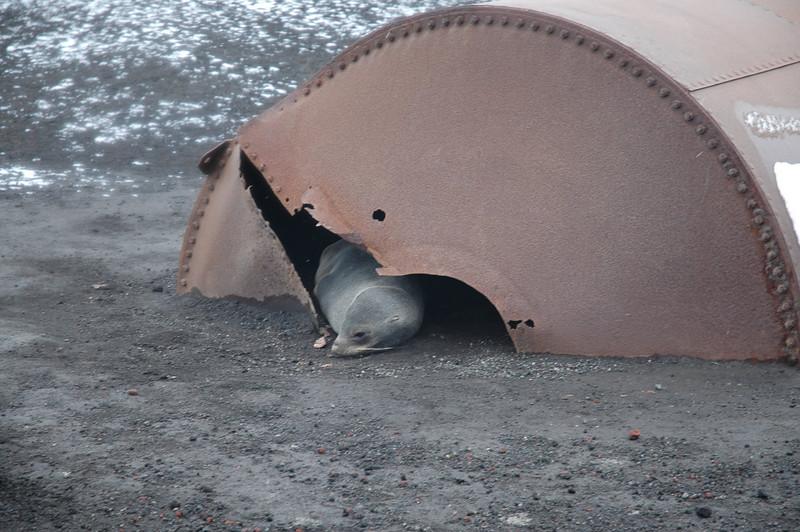 Seal Deception Island