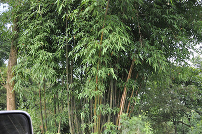 "The near-tropical climate here means that multiple species of bamboo grows natively everywhere...!  No pandas, though...  I was told that we might encounter monkeys and/or ""pigs with tusks"" in the forests...alas, we saw neither."