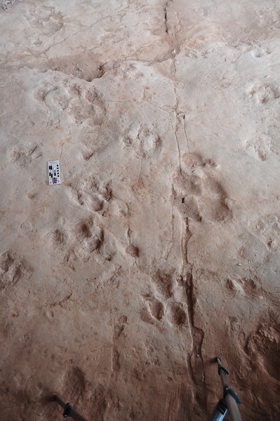 More of the ornithopod tracks and trackways...