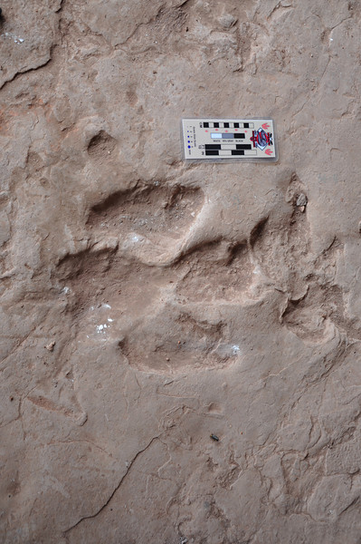 A very nice example of one of the ornithopod <i>Caririchnium</i> tracks, including both the big, three-toed footprint and a small, round hand print.