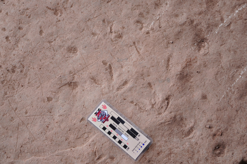 Another small theropod track.
