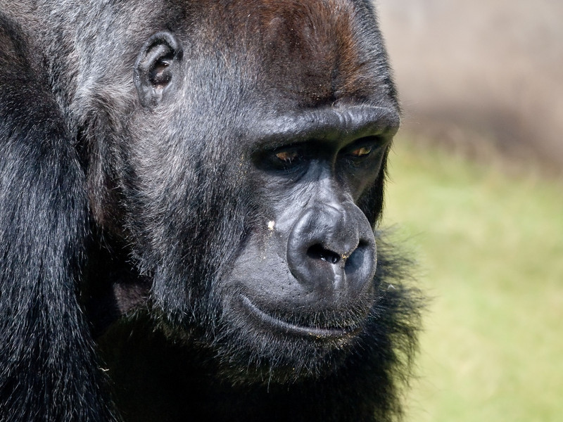 Gorilla at San Francisco Zoo 080408_9223