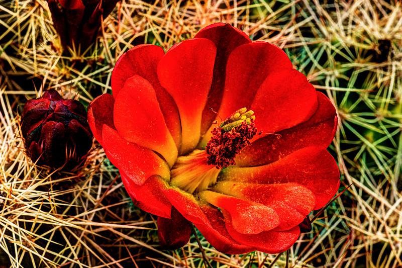 Cactus Blossum #1