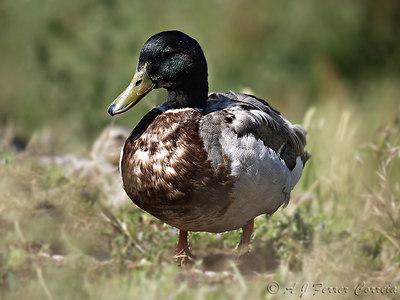 Duck's view of ... ducks