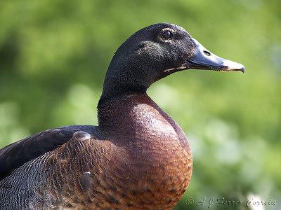 Pato exótico ou híbrido Exotic or hybrid duck