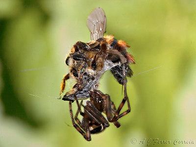 Aranha e abelha em luta de morte Spider and bee, fighting to death