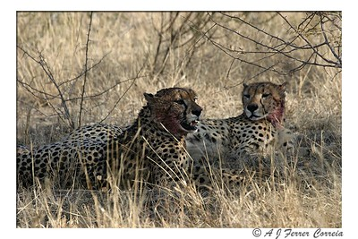 Cheetah - Two brothers (Madikwe, South Africa)
