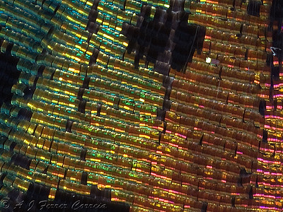 Detail of butterfly wing