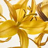 Verwelkte und verdorrte Gelbe Lillie