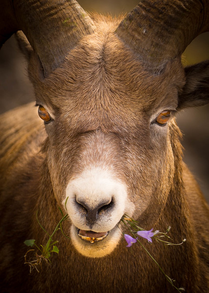 Sheep with Flowers, Alberta, Canada