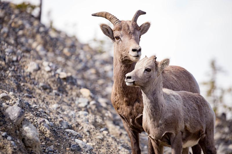 Ewe and Kid - Alberta, Canada