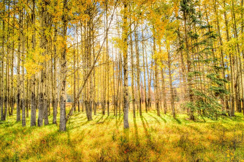 Autumn Aspens - Alberta, Canada