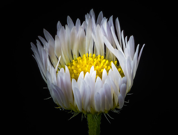 Daisy Fleabane Close Up