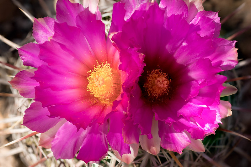 Pride of Texas Cactus -Two Blossoms
