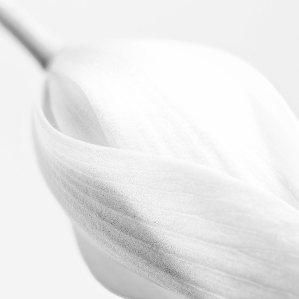 Bloodroot Blossom - High Key