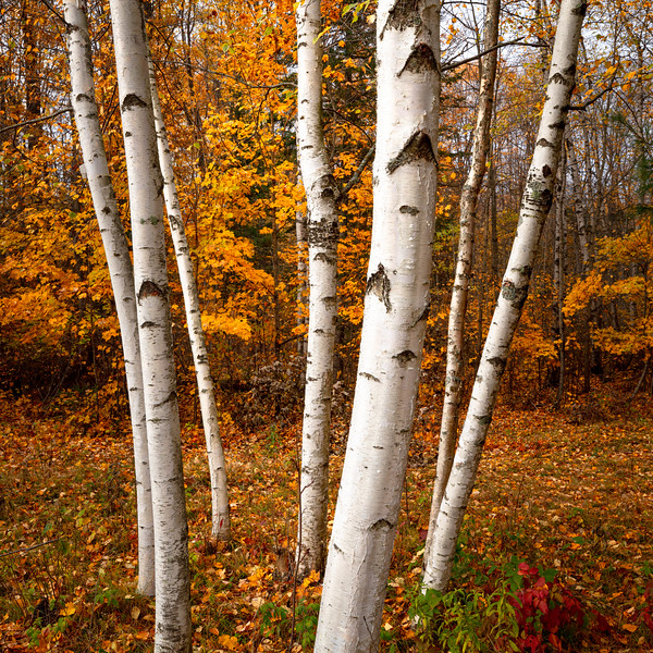 A Stand of Birches