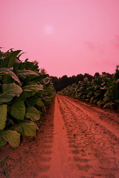 tobacco sunset