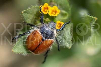 Little Bear Scarab Beetle