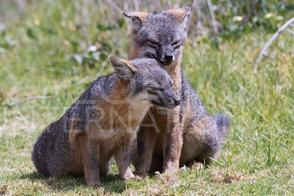 Island Foxes