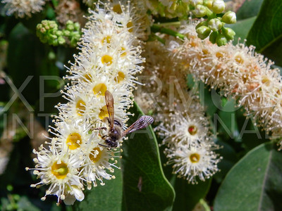 Bee Pollinating Blooms on an Island Cherry
