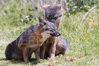 Island Fox 4