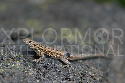Sideblotched Lizard of Santa Cruz Island