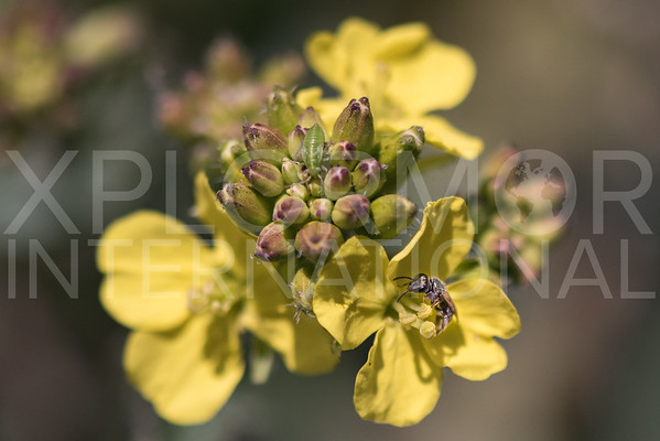 Bee on Yellow Spring Blooms