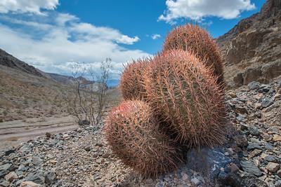 Harem Cactus