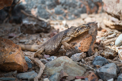 Common Chuckwalla