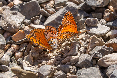 Neumoegen's Checkerspot