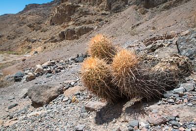 Cottontop Cactus
