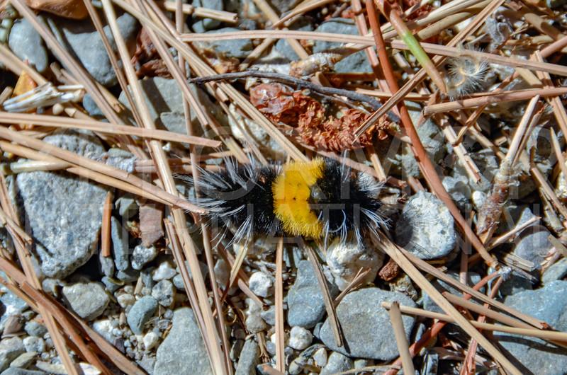 Isabella Tiger Moth (Caterpillar)