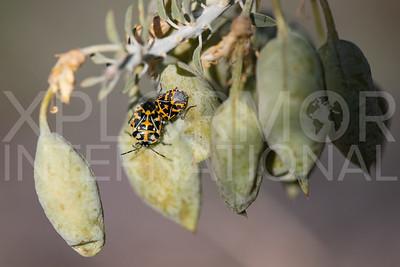 Harlequin Bugs
