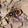 Bee Fly (Dicranoclista vandykei)
