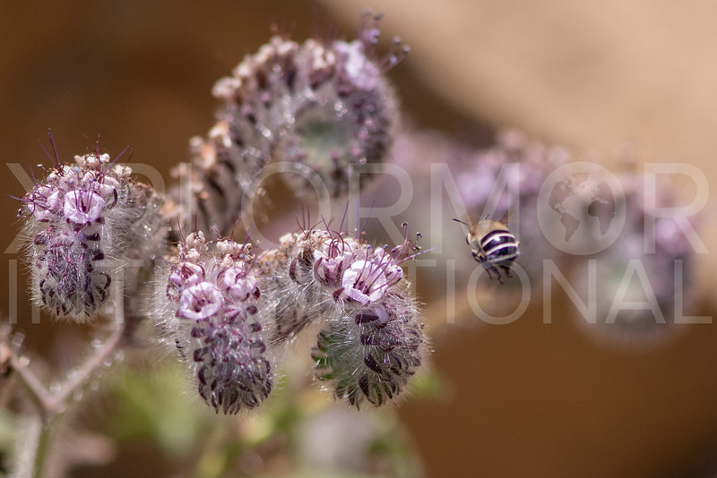 Digger Bee with Hubby's Phacelia