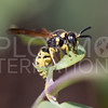 Potter or Mason Wasp - Need ID