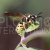 Potter or Mason Wasp - Need ID