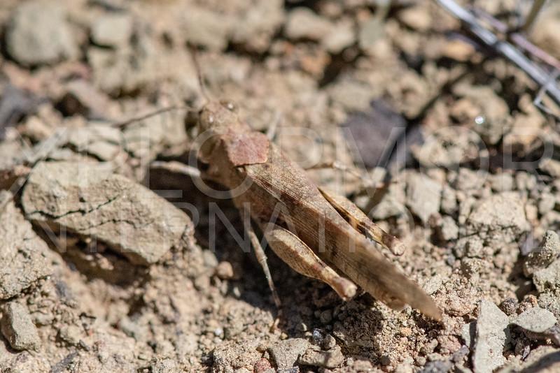Fontana Grasshopper