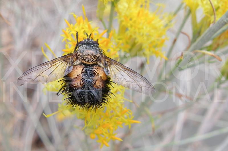 Spiny Tachinid Fly