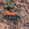 Tarantula Hawk Wasp - NEED ID