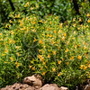 Southern Bush Monkeyflower