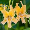 Southern Bush Monkeyflower
