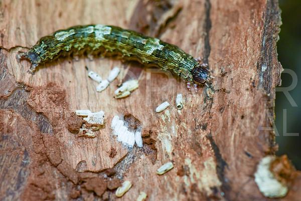 Cutworm or Dart Moth (Larva) - Need ID