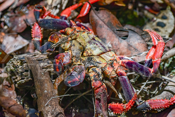 Black Land Crab